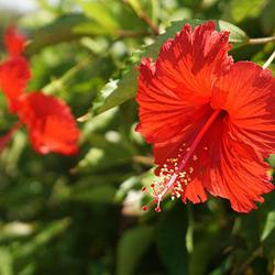 沖縄で数多くみられるハイビスカス